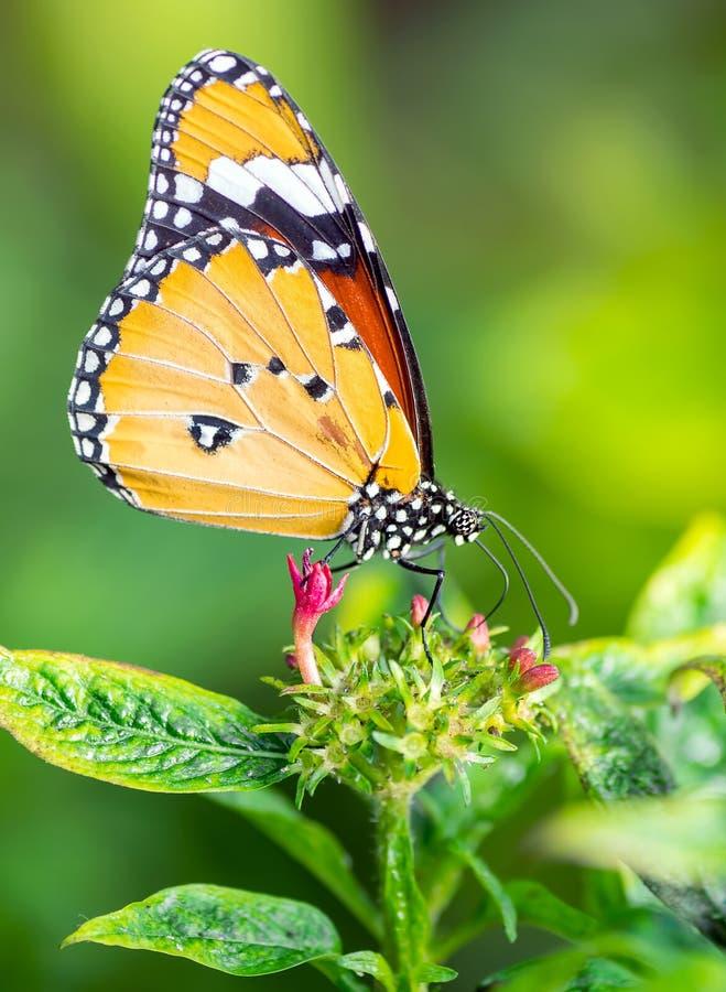在花的老虎蝴蝶 库存图片