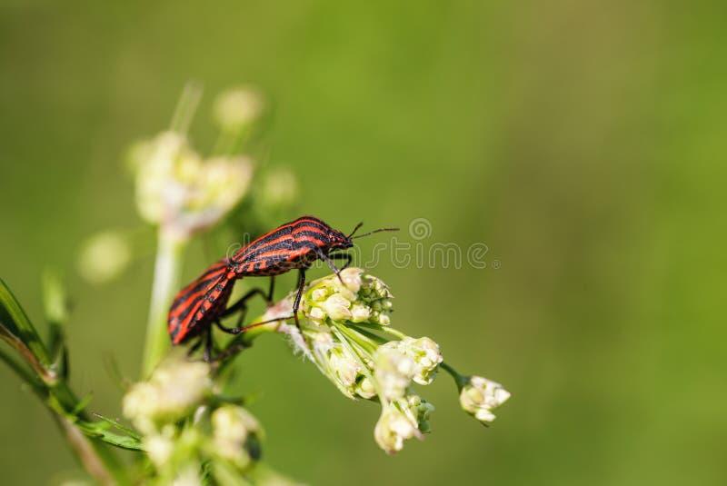 在花的联接的红色臭虫 免版税库存照片