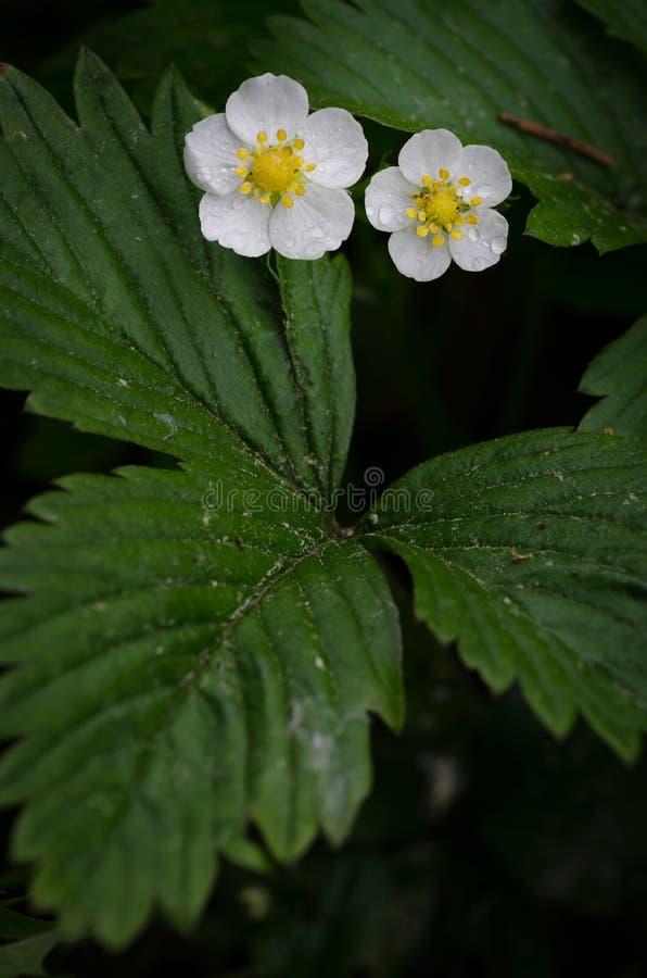 在花的草莓属vesca 图库摄影