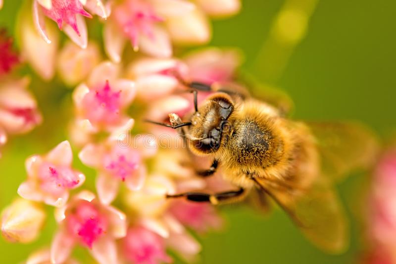 在花的蜂整个 免版税库存照片