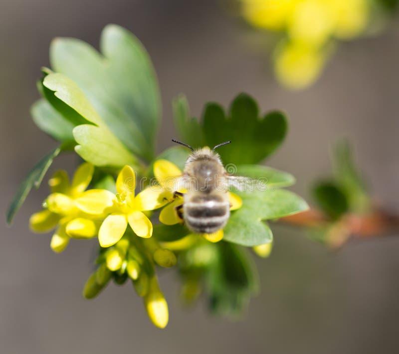 在花的蜂 宏指令 免版税库存照片