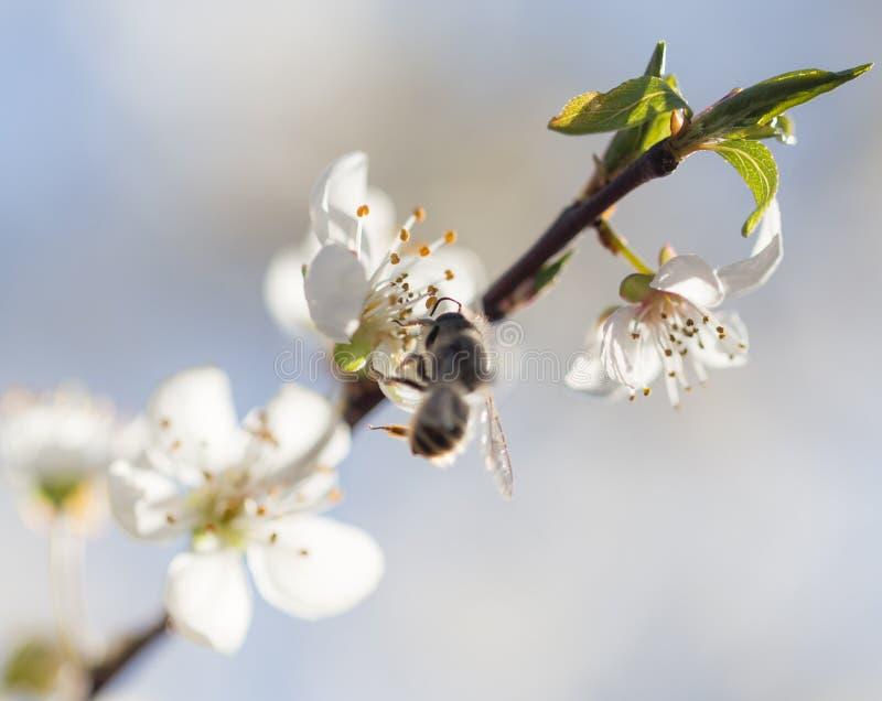 在花的蜂 宏指令 免版税图库摄影