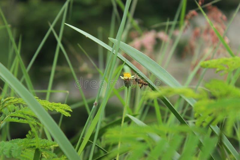 在花的蜜蜂飞行在绿色庭院附近 免版税库存照片