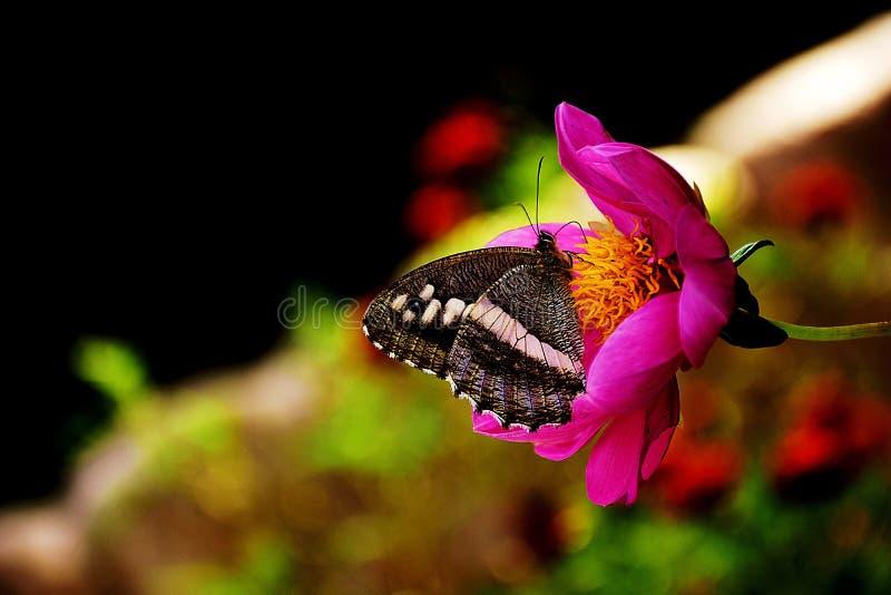 在花的蝴蝶萍果汁 库存照片