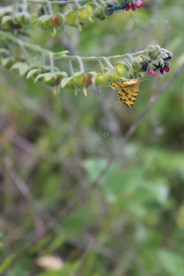 在花的蝴蝶 开花植物 夏天在乡下 昆虫 免版税库存照片