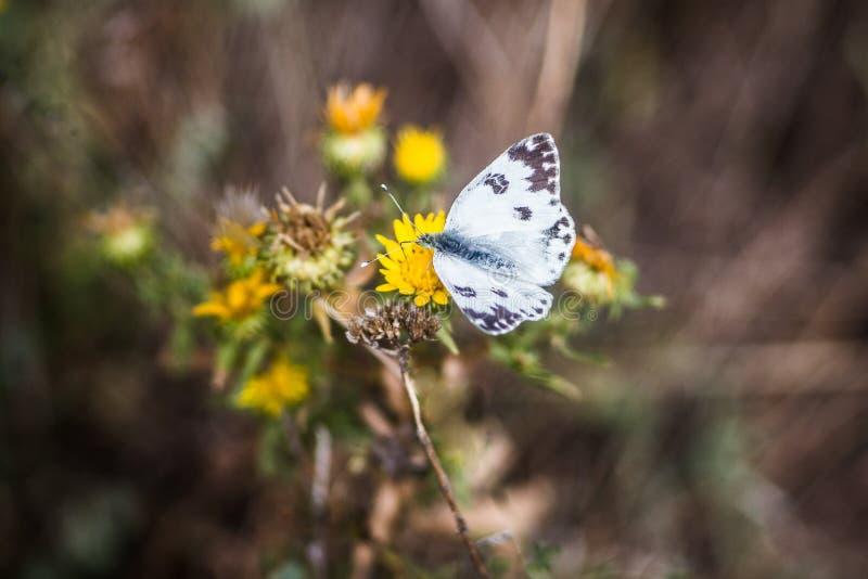 在花的蝴蝶 图库摄影