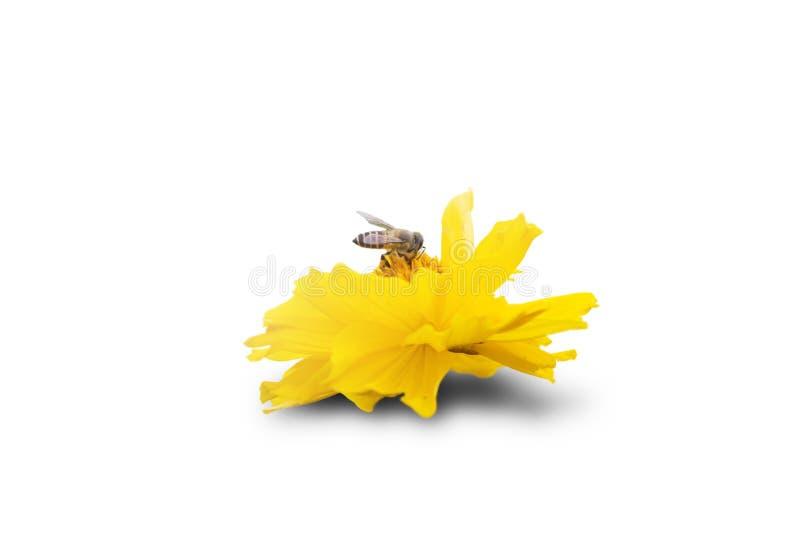 在花的被隔绝的蜂 库存照片