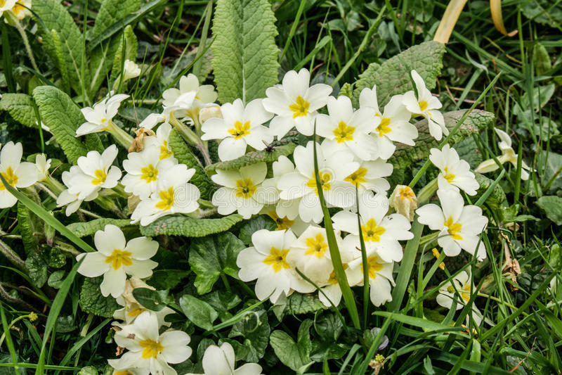 在花的野生报春花 免版税库存照片
