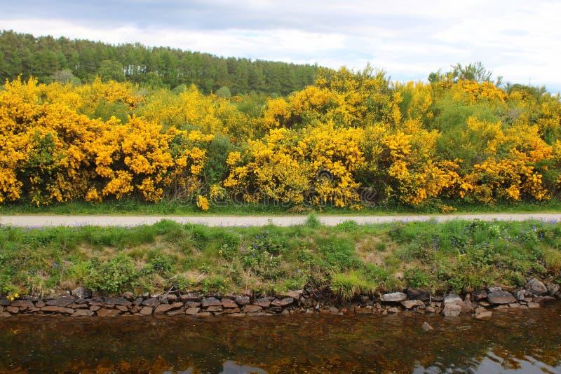 在花的金雀花灌木由运河 免版税库存照片