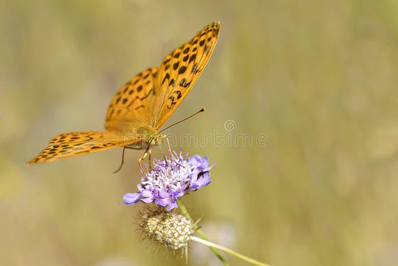 在花的银被洗涤的贝母蝴蝶 免版税库存图片