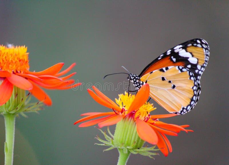 在花的非洲黑脉金斑蝶 库存照片