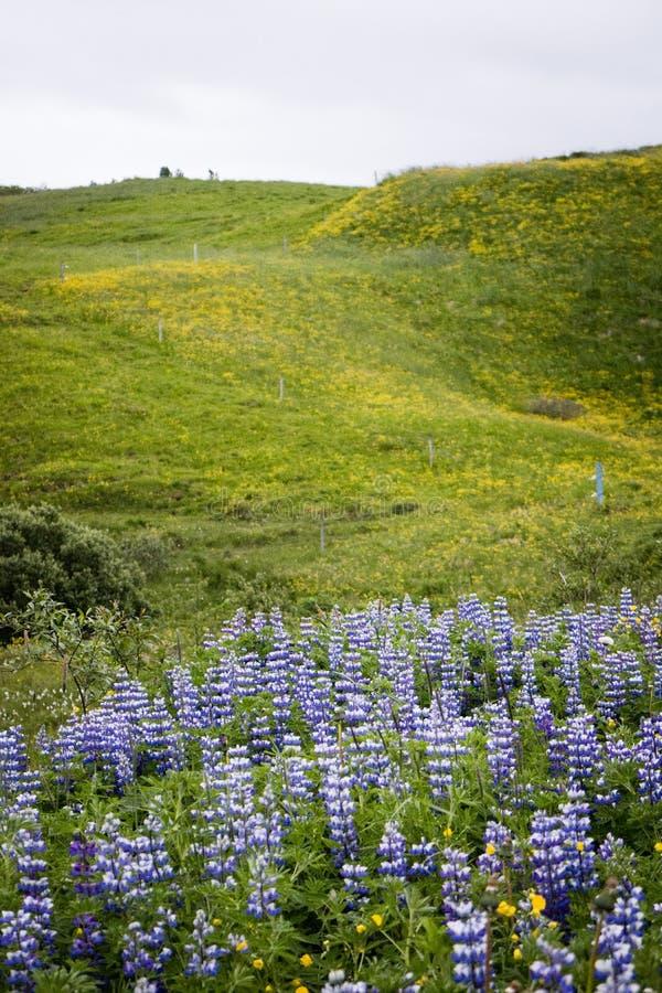 在花的领域的羽扇豆 免版税库存照片