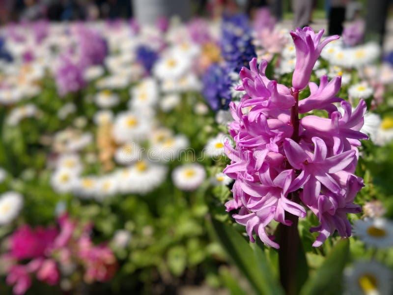 在花的领域的风信花 免版税库存照片