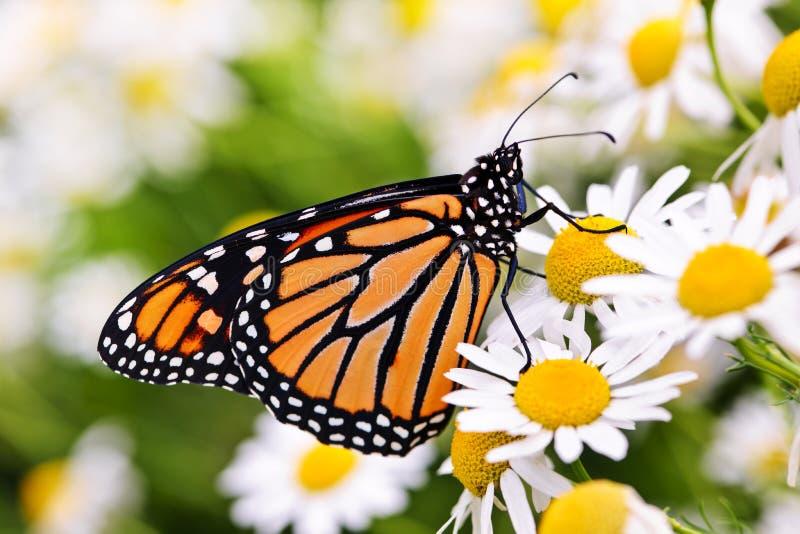 在花的黑脉金斑蝶 库存图片