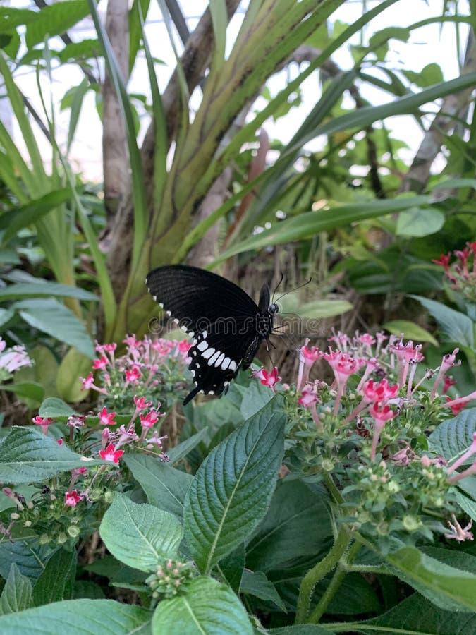 在花的黑蝴蝶 免版税图库摄影