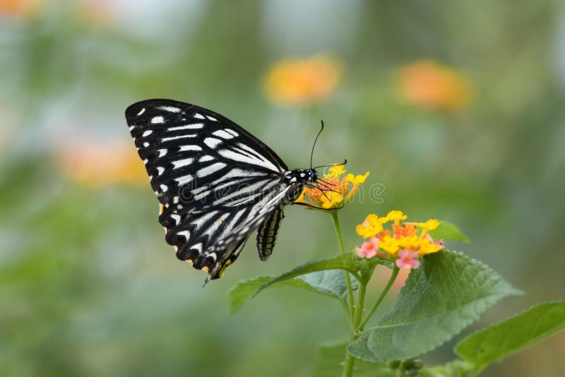 在花的黑&白色蝴蝶飞行 库存照片