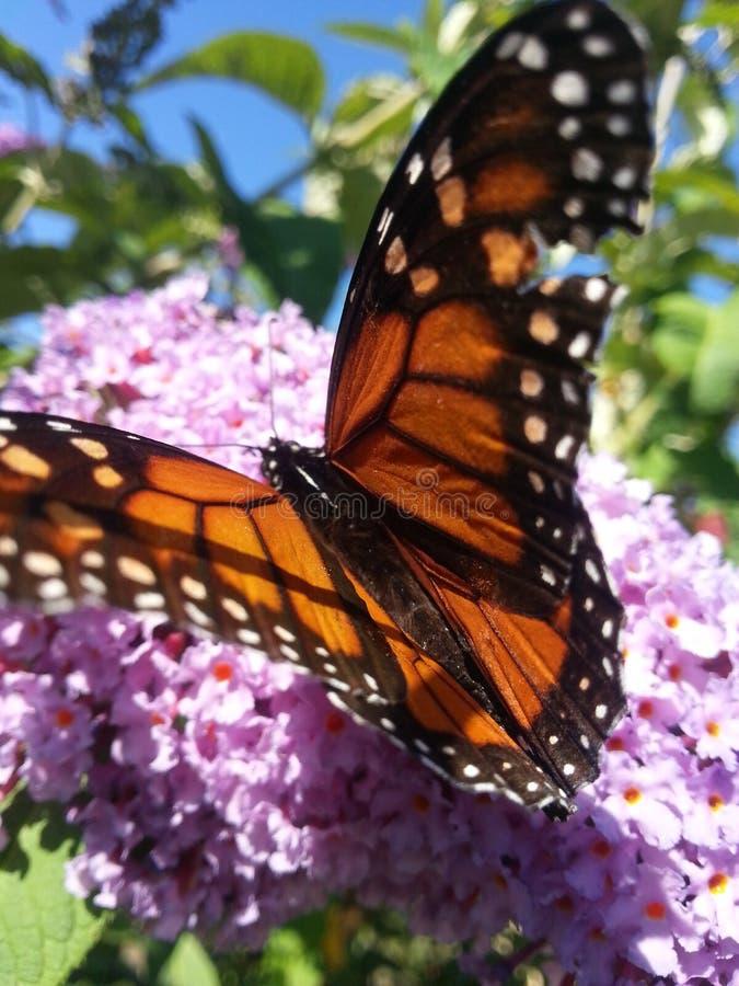 在花的黑脉金斑蝶 免版税库存图片