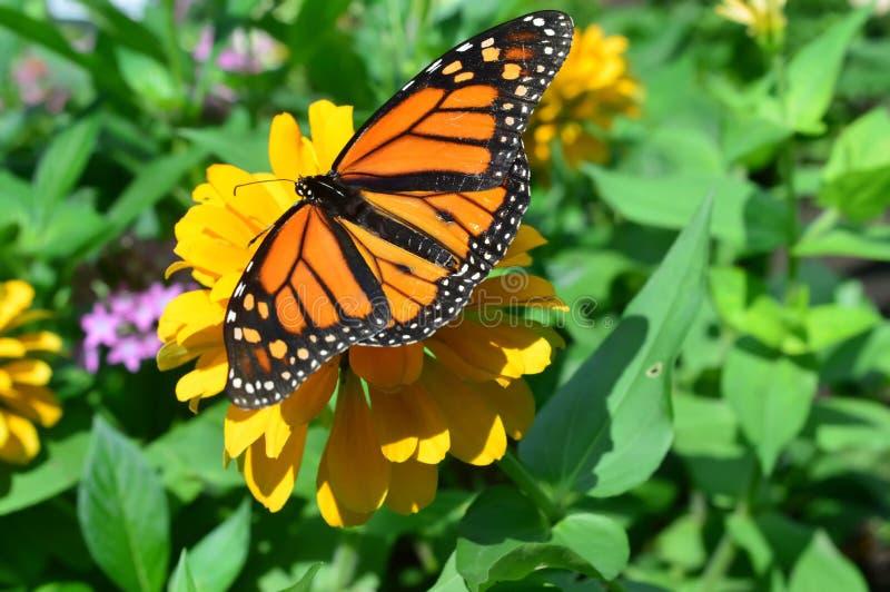 在花的黑脉金斑蝶 库存照片