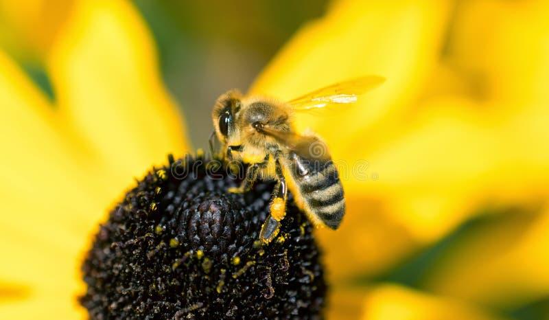 在花的黄蜂宏指令 库存照片