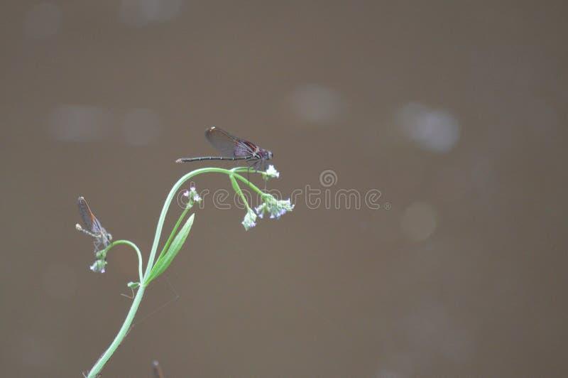 在花的蜻蜓 库存图片