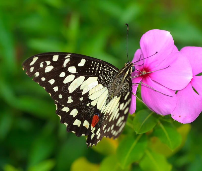 在花的蝴蝶。 库存图片