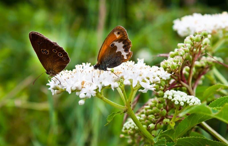 在花的Butterflys 库存照片