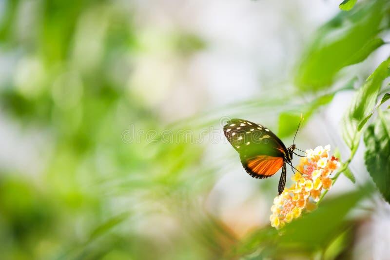 在花的Heliconius蝴蝶 免版税库存图片