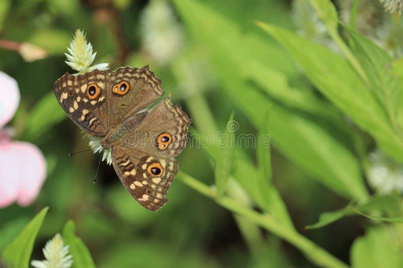 在花皇族自由储蓄照片的美丽的飞蛾 库存图片