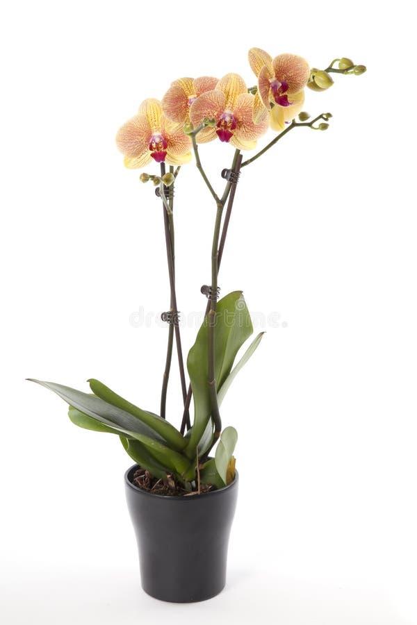 在花盆的兰花植物兰花 免版税库存图片
