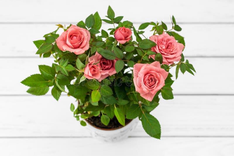 在花盆的玫瑰 库存图片