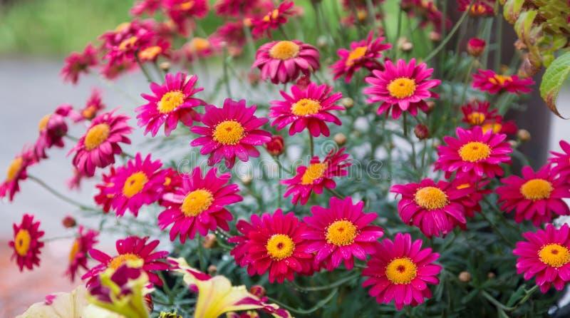 在花盆的红色延命菊 免版税库存图片