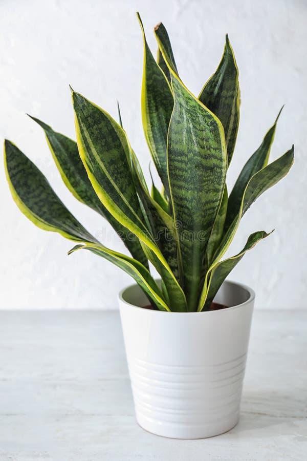 在花盆的美好的百合科植物在白色桌上 库存图片