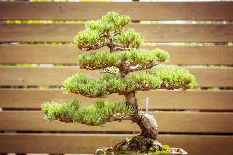 在花盆的老盆景树 免版税库存照片