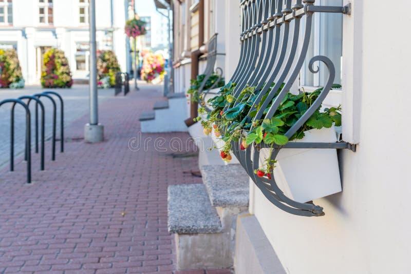 在花盆的草莓在街道上 窗口装饰 免版税图库摄影