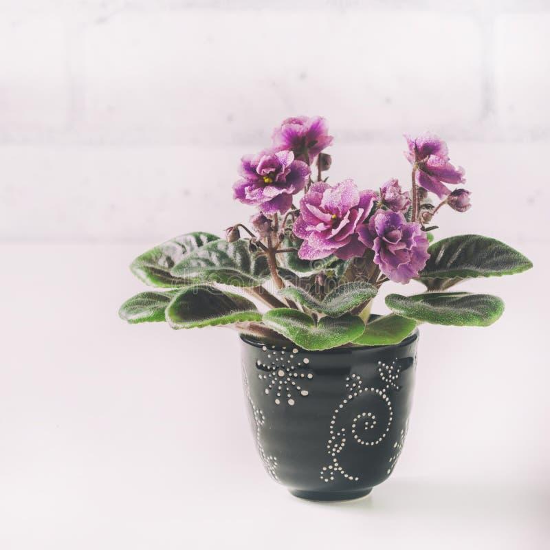 在花盆的非洲紫罗兰,在白色 库存图片