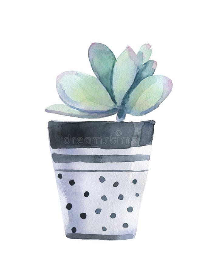 在花盆的水彩多汁植物 笤帚查出的白色 皇族释放例证