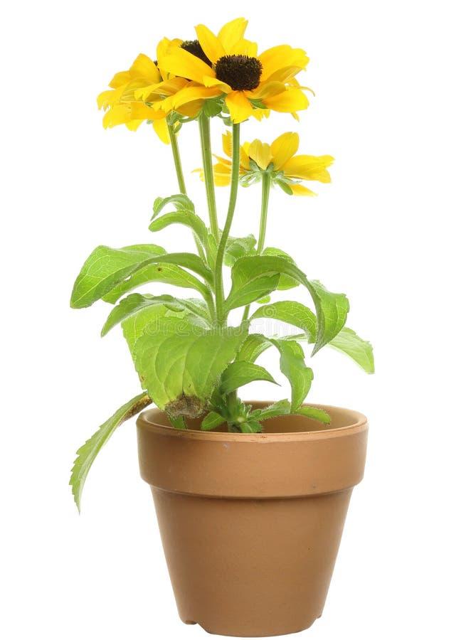在花盆的黄金菊 库存照片