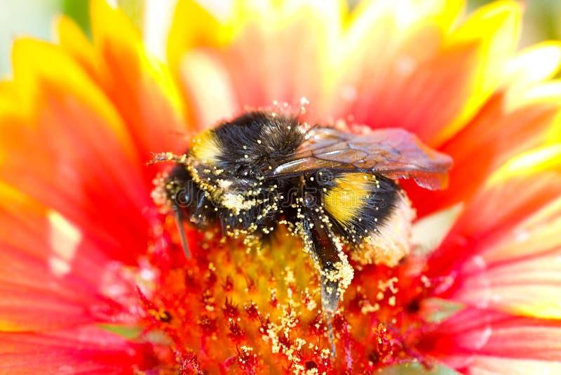 在花粉盖的土蜂 免版税库存照片