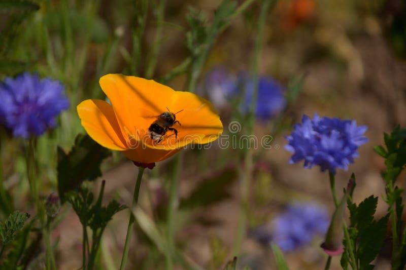 在花粉盖的蜂从花飞行 库存照片