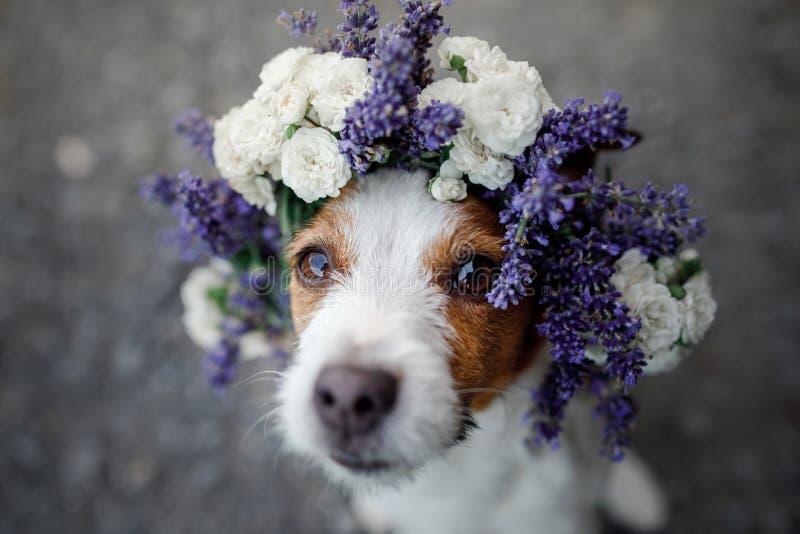 在花花圈的滑稽的狗 愉快的宠物 逗人喜爱的杰克罗素狗 免版税图库摄影
