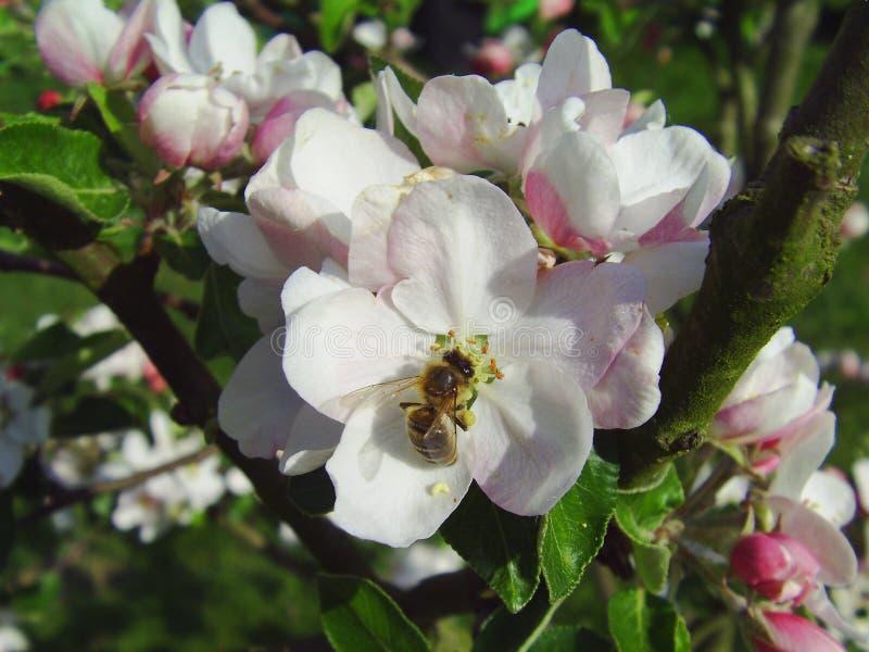 在花苹果的蜂 免版税库存照片