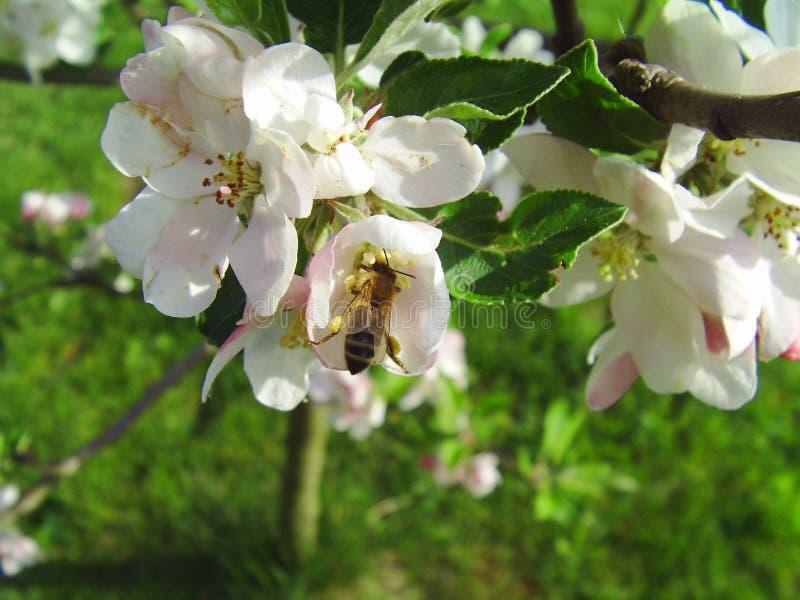 在花苹果的蜂 库存照片