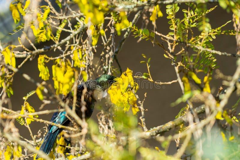 在花蜜的图伊当地新西兰鸟饲料 免版税库存图片