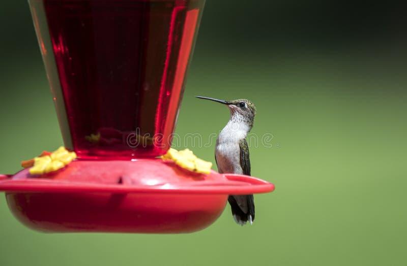 在花蜜鸟饲养者,克拉克县,乔治亚美国的红宝石红喉刺莺的蜂鸟 免版税库存照片