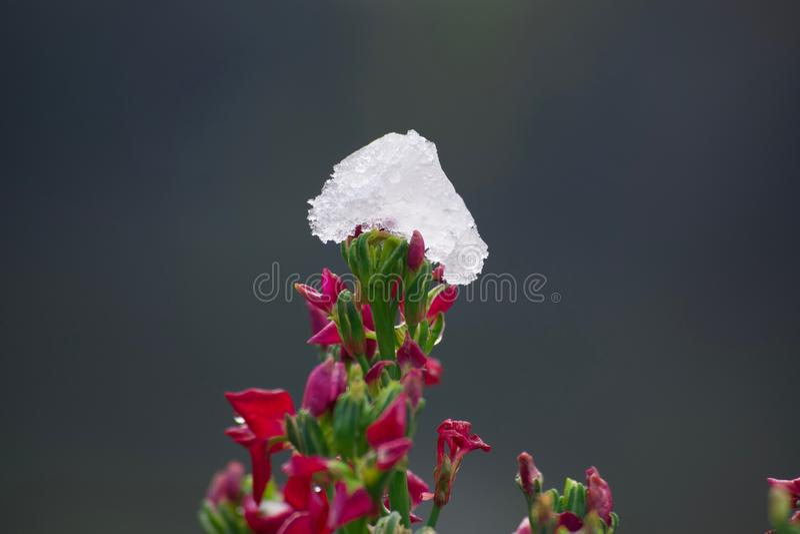 在花顶部的水晶冰块 免版税库存图片