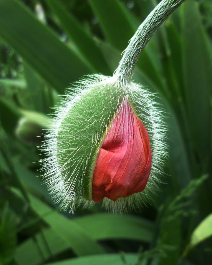在芽的明亮的红色鸦片花 图库摄影