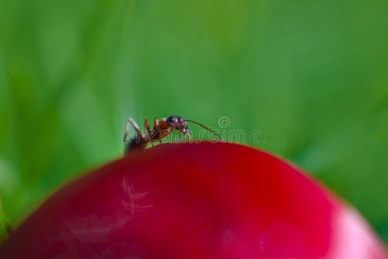 在芽的蚂蚁 库存照片