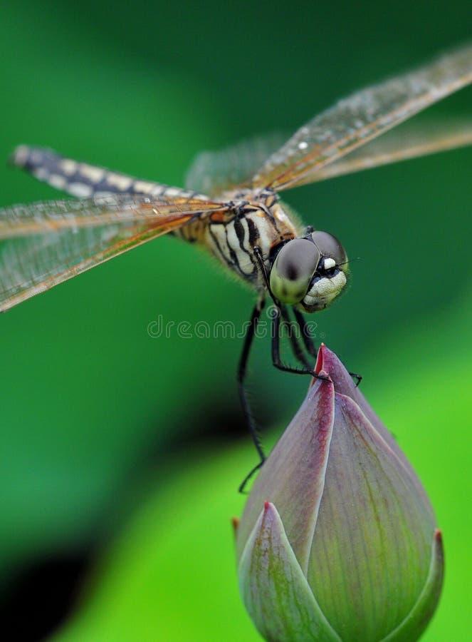 在芽的蜻蜓立场 库存照片
