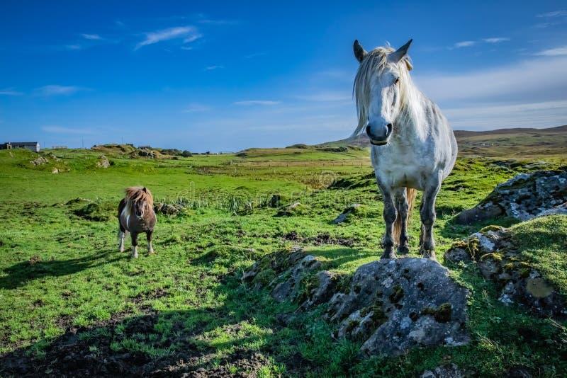 在苏格兰,设得兰群岛的舍特兰群岛小马 免版税库存图片