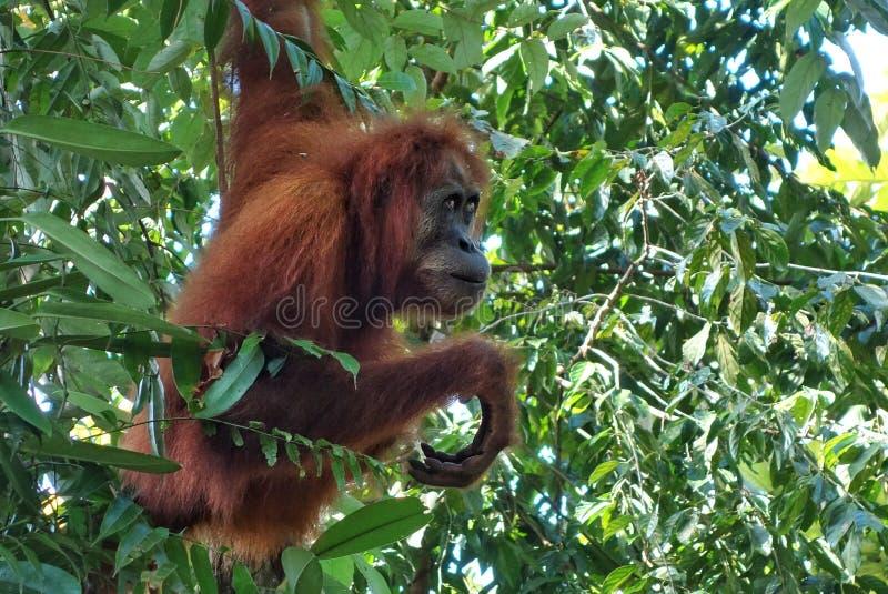在苏门答腊密林看见的母猩猩 库存照片